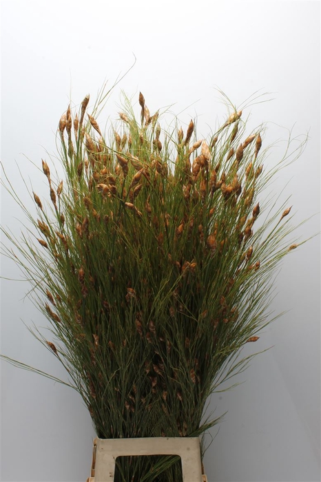 <h4>Kaaps Bell Reed</h4>
