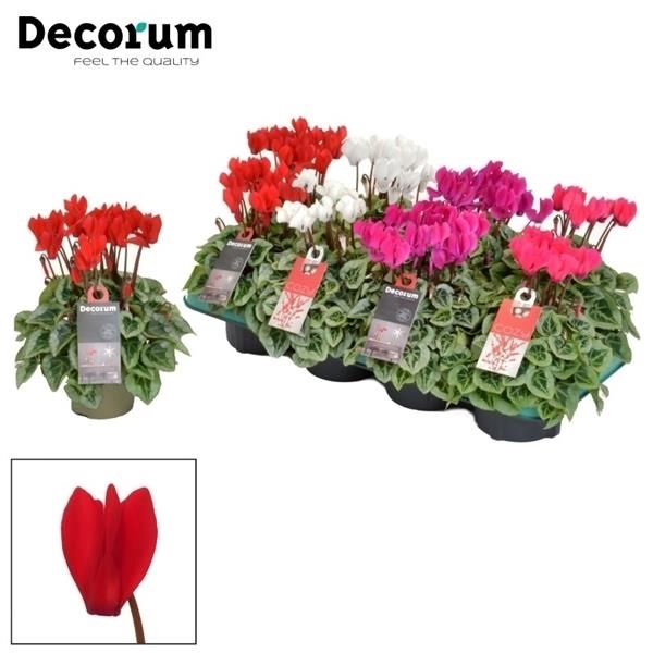 <h4>Cyclamen SS Picasso Selections Decorum</h4>
