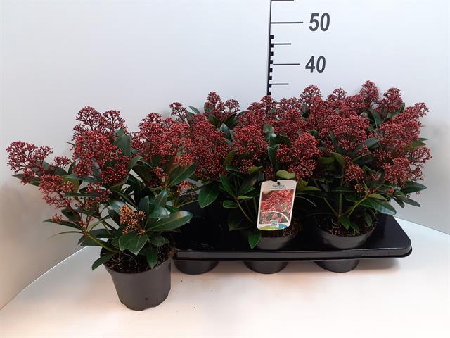 <h4>Skimmia japonica 'Rubella'</h4>