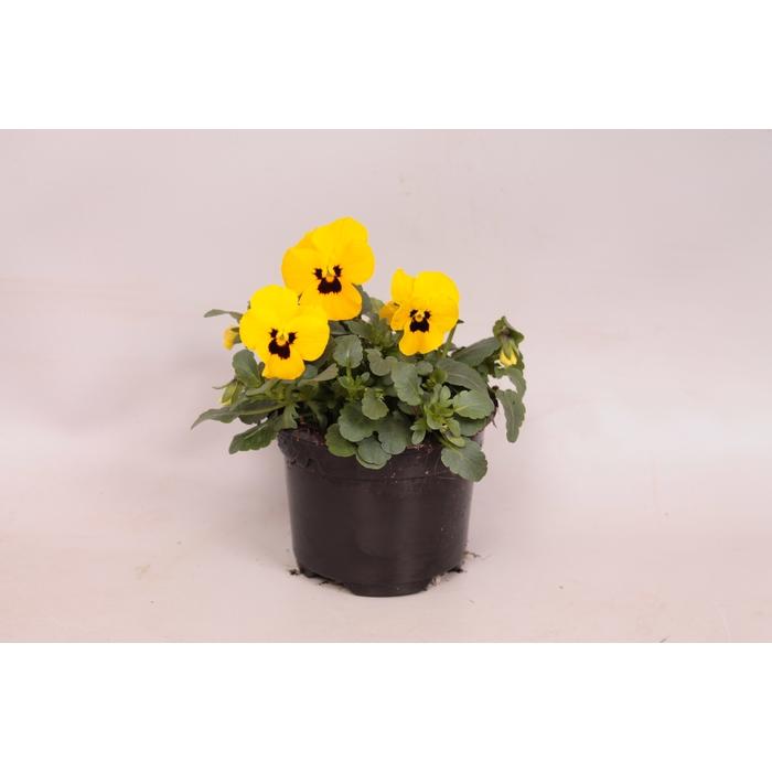 <h4>Viola cornuta F1 Yellow with blotch</h4>