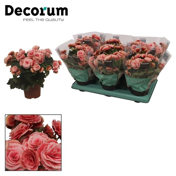 <h4>Begonia ''borias'' 13 cm</h4>