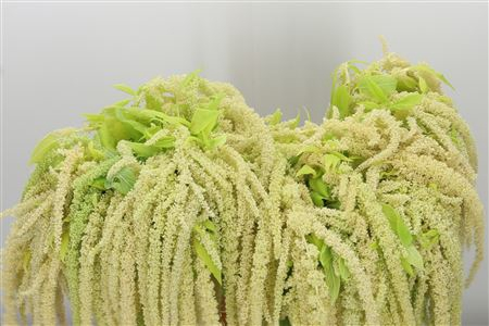 <h4>Amaranthus Hg Green Fine Riham</h4>