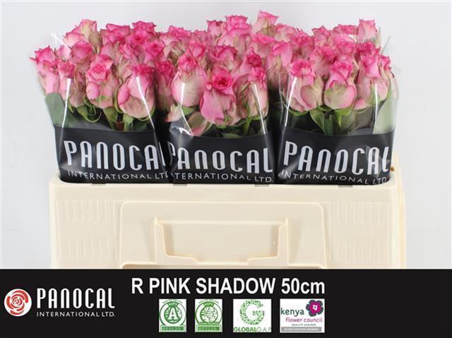 <h4>R GR PINK SHADOW</h4>
