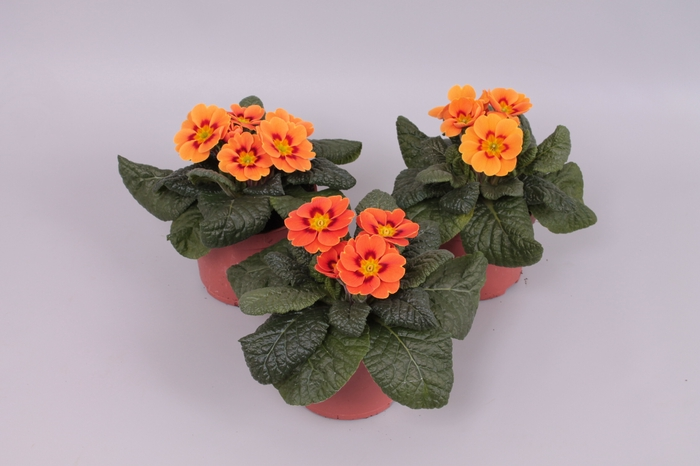 <h4>Primula acaulis Terracotta</h4>