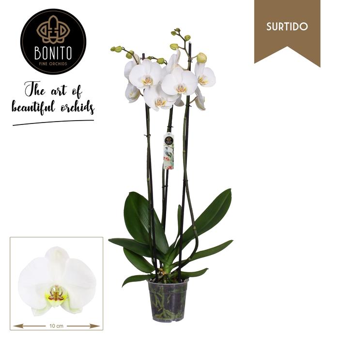 <h4>Phalaenopsis Silhouette 3 Pędy</h4>