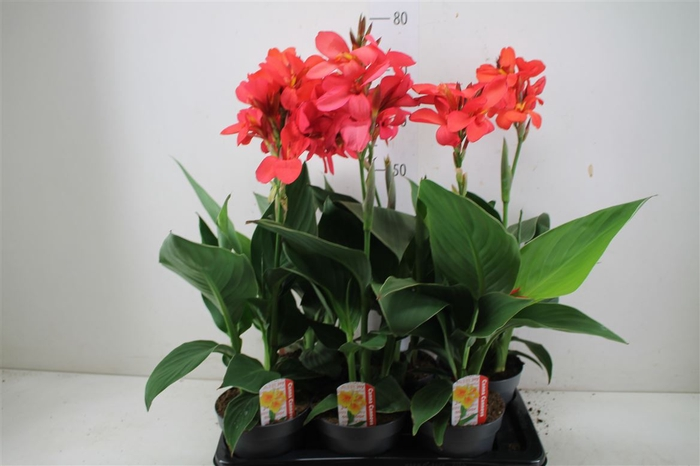 <h4>Canna Can Red Shades</h4>