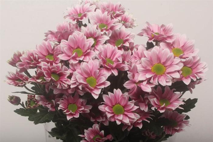 <h4>Chrysant T Haydar Pink</h4>