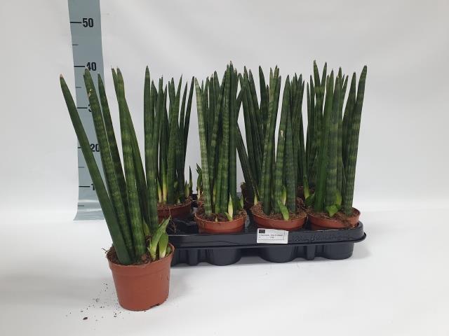 <h4>Sansevieria Cylindrica 9Ø 30cm 6pp</h4>