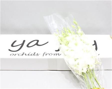 <h4>Dendrobium White</h4>