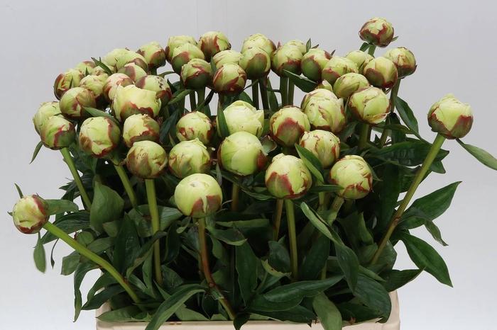 <h4>Paeonia L Bowl Of Cream</h4>