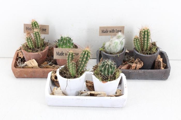 arr.. Cactus MB - Plateau recht 2pot 401/4
