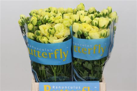 <h4>RANUNCULUS BUTTERFLY HELIOS</h4>
