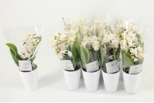 <h4>Phalaenopsis Mini 6Ø 25cm 3st 18fl</h4>