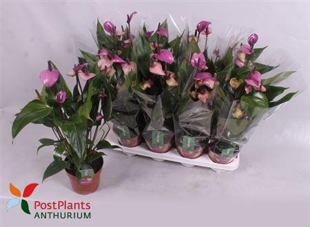 <h4>Anthurium Orino (lila ) 8+</h4>
