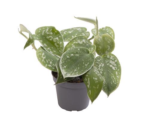 <h4>Philodendron Scandens Pictus 6Ø 12cm</h4>