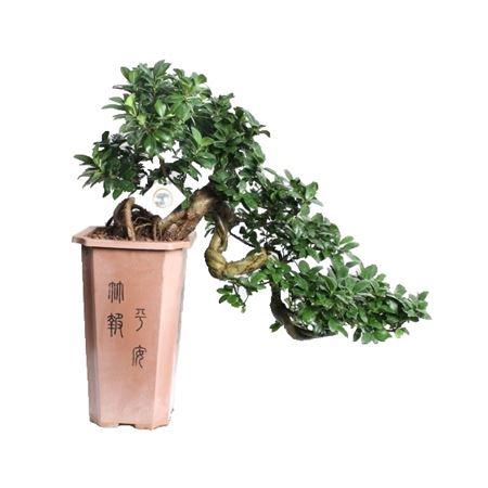 <h4>Bonsai A1266500 Ficus Casc Mi Ginseng Plastic</h4>