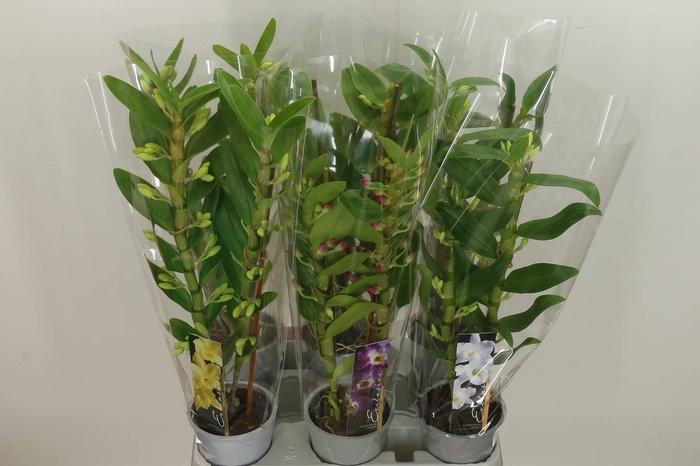 <h4>Dendrobium Nobile Gemengd 2 Tak</h4>