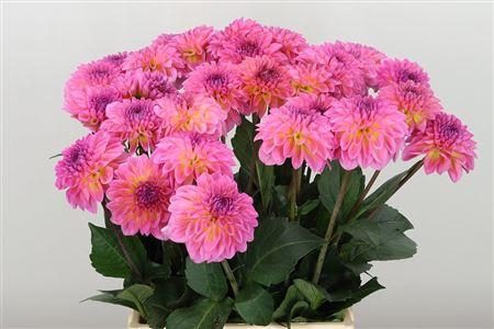 <h4>Dahlia Esli Pink</h4>