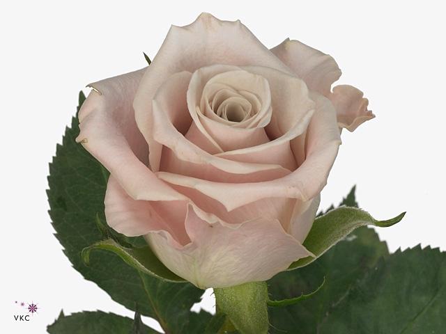 Rosa Sm. Menta