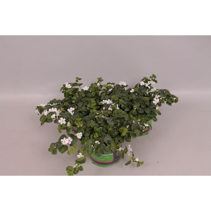 <h4>Bacopa white</h4>