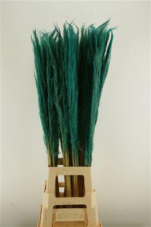 <h4>Cortaderia Turquoise</h4>
