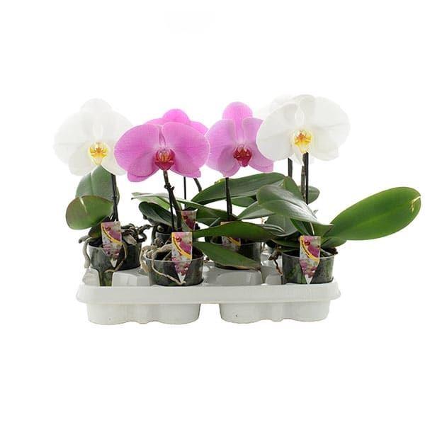 <h4>Phalaenopsis gemengd</h4>