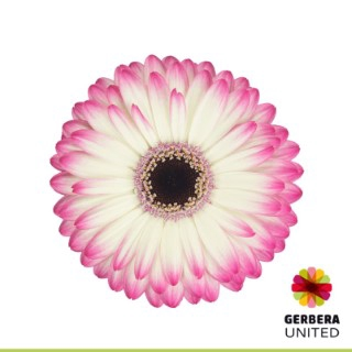 <h4>Gerbera Mandala</h4>