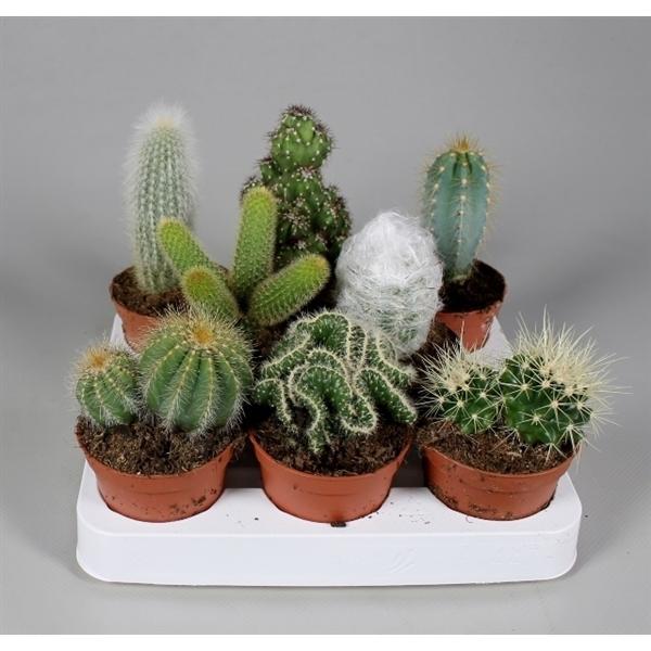 <h4>Cactus mix</h4>