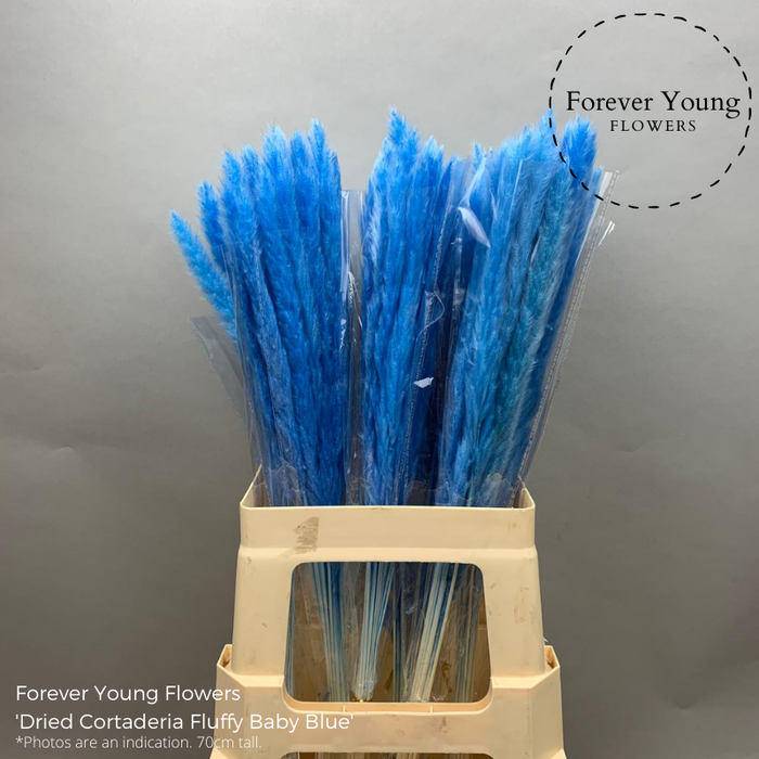 <h4>Dried Cortaderia Fluffy Baby Blue</h4>