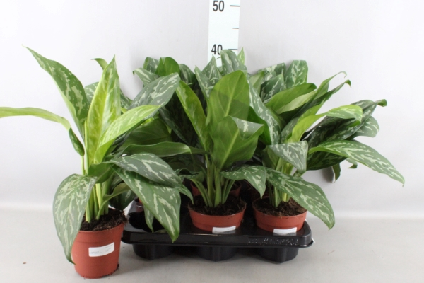 <h4>Aglaonema  'Cutlass'</h4>