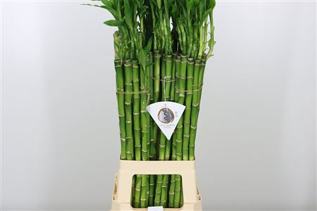 <h4>Drac S Lucky Bamboo Straight</h4>