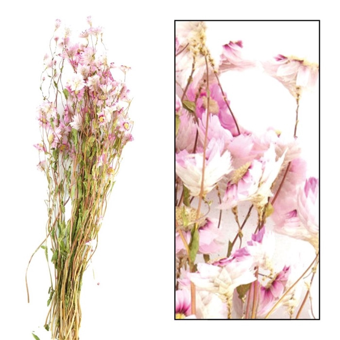 <h4>DRIED FLOWERS - RODANTHE PINK</h4>