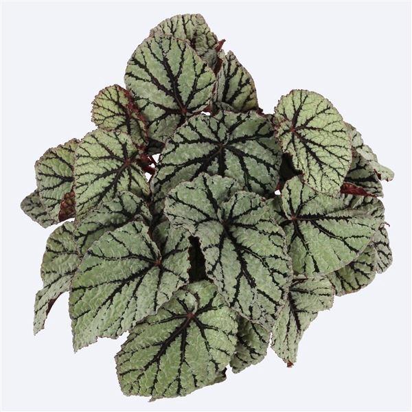 <h4>Begonia Magic Colours Fedor</h4>