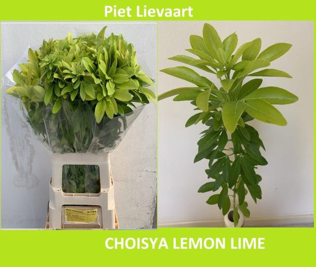 <h4>CHOISYA TE LEMO LIME</h4>