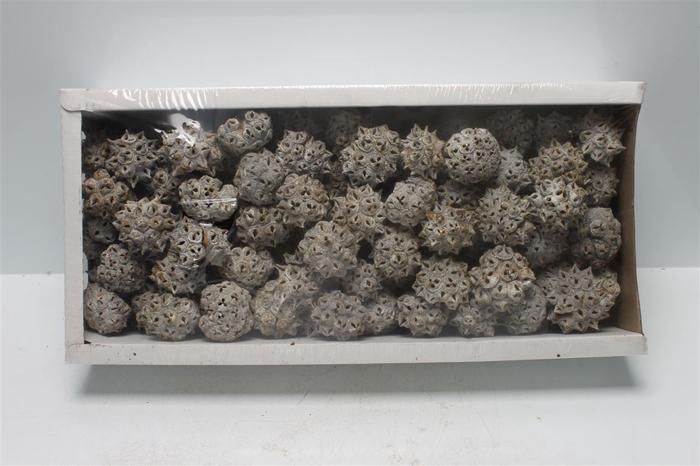 <h4>Spidergum Knobs White Washed (100 St)</h4>