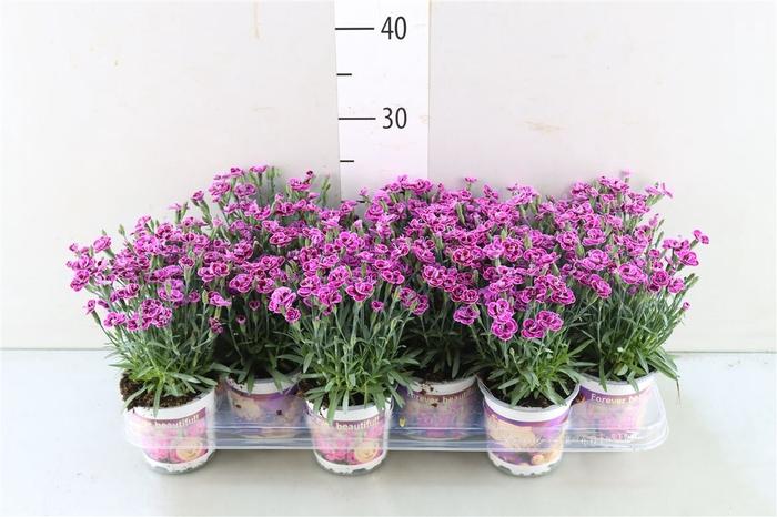 <h4>Dianthus Di Purp Wed</h4>