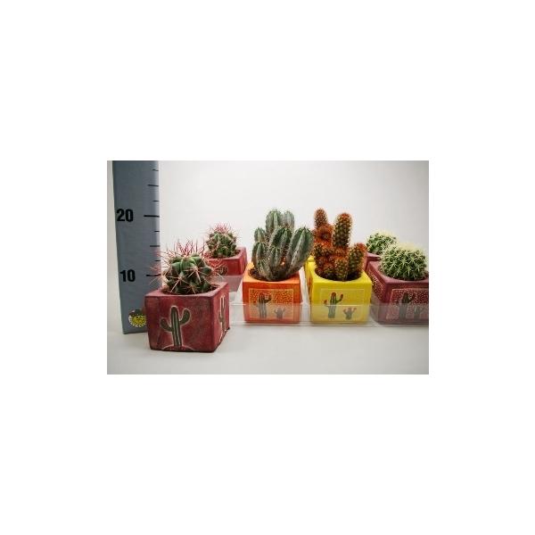 <h4>Cactus mix 8,5 cm. in vierkant decor</h4>