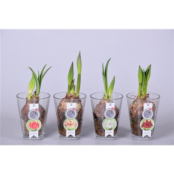 <h4>MoreLIPS® Amaryllis in vaas</h4>