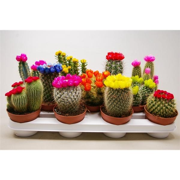 <h4>Cactus mix 10,5 cm. met strobloem</h4>