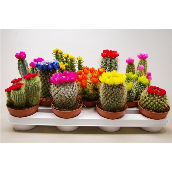 <h4>Cactus versierd Met kleine en grote strobloemen</h4>