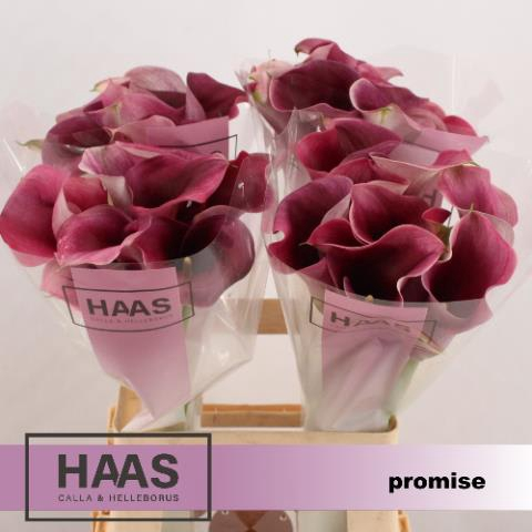 <h4>ZANT CAPT PROMISE</h4>