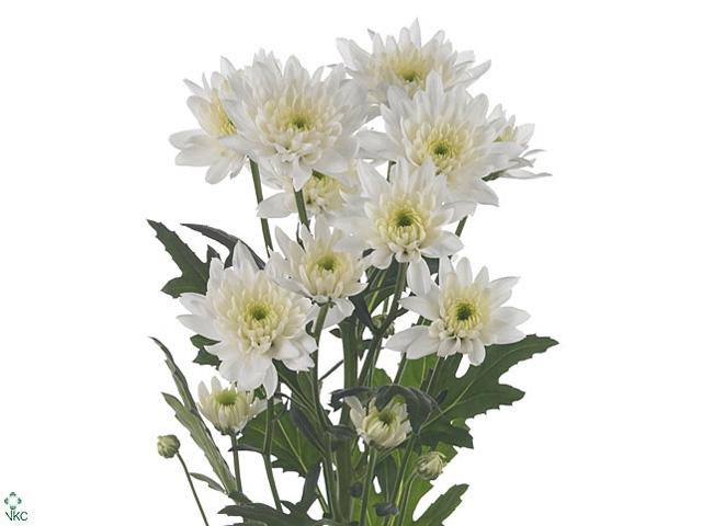 Chrysanthemum spray euro blanca