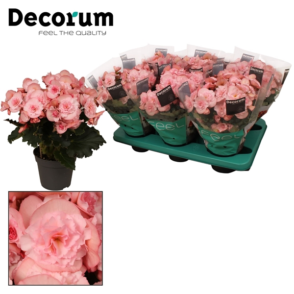 <h4>Begonia ''joy pink''  licht rose Decorum</h4>