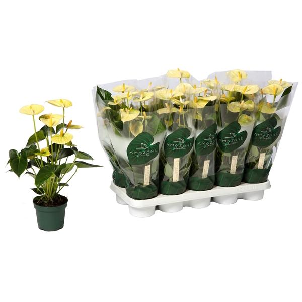 <h4>Anthurium Vanilla 12cm</h4>