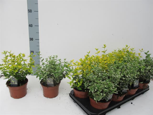 <h4>EUONYMUS FORTUNEI</h4>