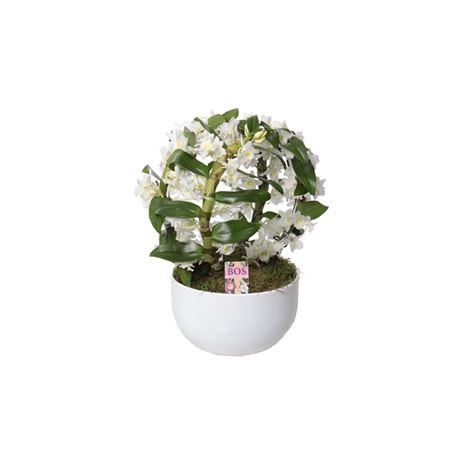<h4>Dendr N S C White Special Bow 4 Tak Keramiek</h4>