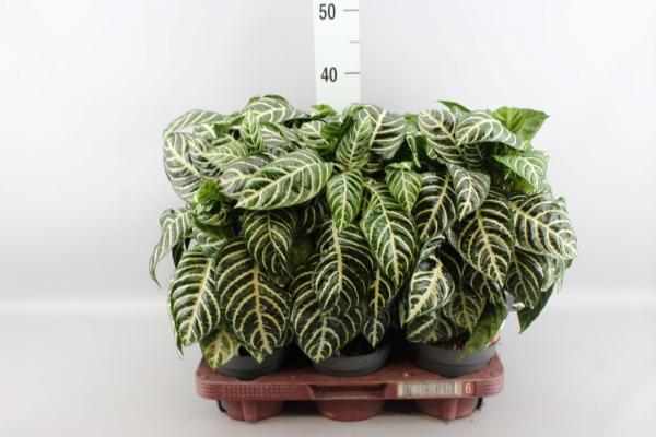 <h4>Aphelandra squarrosa 'Botanica'</h4>