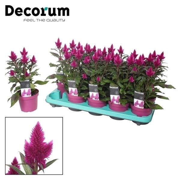 <h4>Celosia Deep Purple met Decorum etiket</h4>