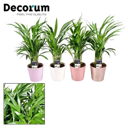 <h4>Collectie Moments - Dypsis Lutescens (areca) In Po</h4>