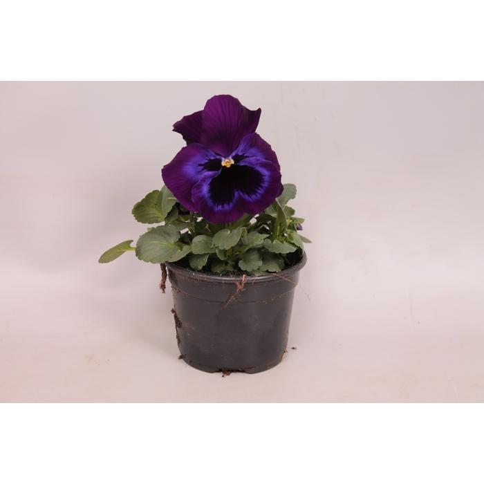 <h4>Viola sixpack F1 Neon Violet</h4>